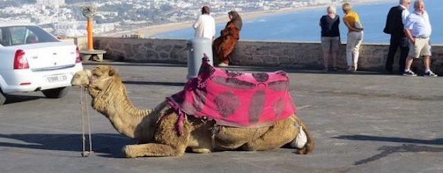 camel, morocco, agadir