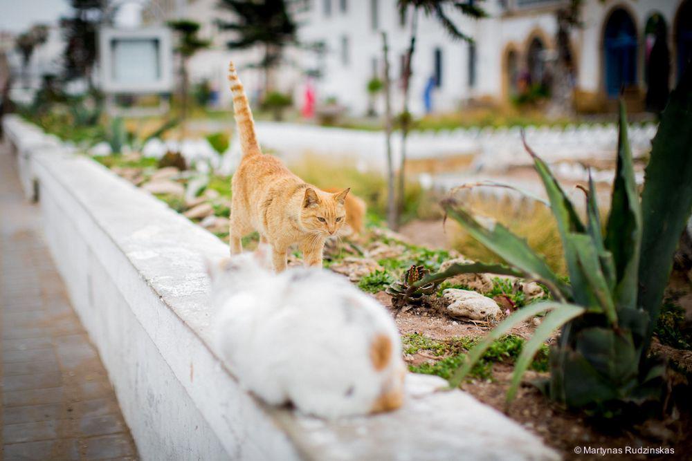 essaouira, morocco, cats, street