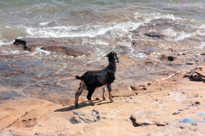 goat, beach, water, animal