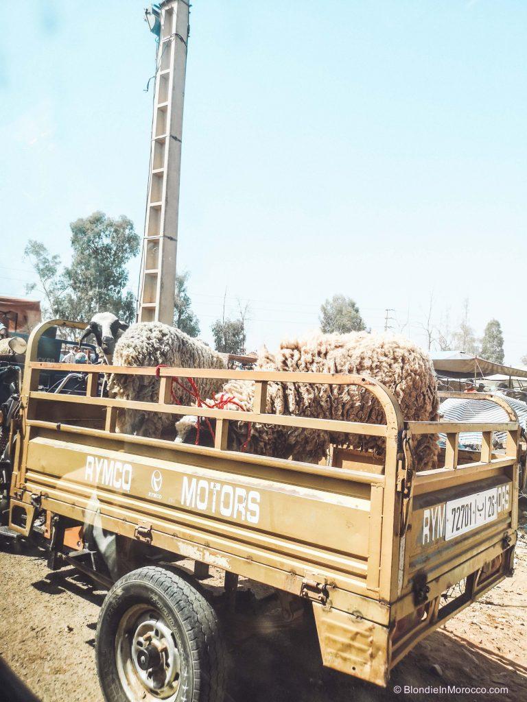 eid al adha morocco ram sheep